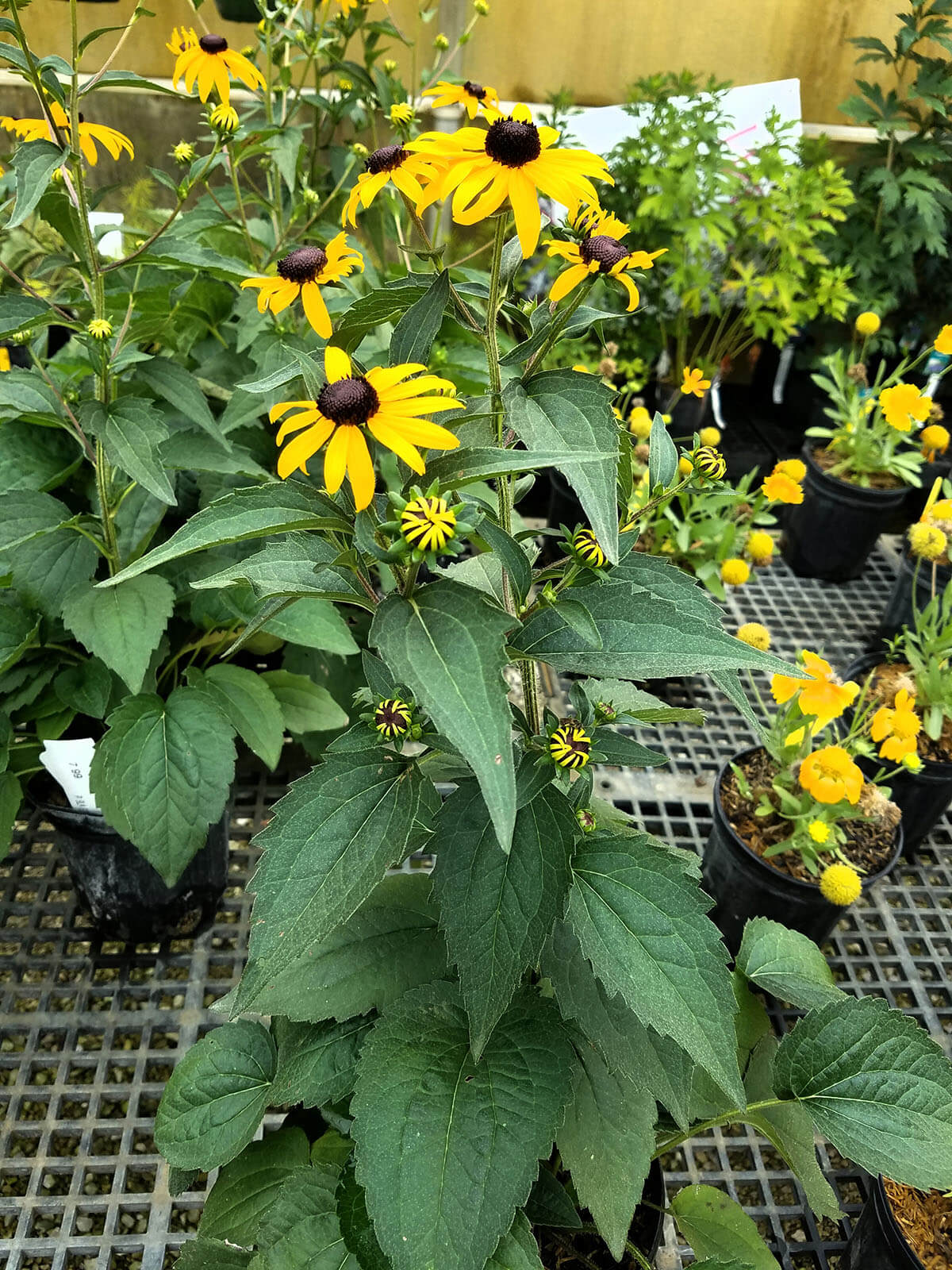 Abell Nursery - Garden Center - Bloomington - Tree Farm - Black Eyed Susan Goldstrum Rudbeckia